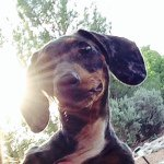 @harley_the_dachshund_'s profile picture on influence.co
