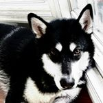 @_hellodieselmalamute's profile picture on influence.co