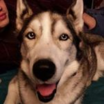 @saku_husky's profile picture on influence.co
