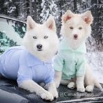 @jasper_the_pomsky's profile picture on influence.co