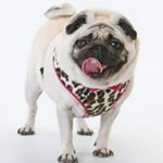 @poppythepug2016's profile picture on influence.co