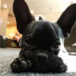 @thefrenchie_bruce's profile picture