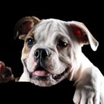@tonka.the.bulldog's profile picture on influence.co