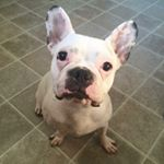 @cupcake_frenchiebear's profile picture on influence.co