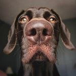 @lincoln_the_pointeraner's profile picture on influence.co