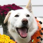 @mollythehuskyrescue's profile picture on influence.co