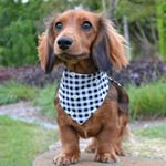 @daisy_rey_dachshund's profile picture on influence.co