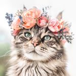 @leo.mainecoon's profile picture on influence.co