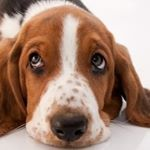 @bassethound_of_insta's profile picture on influence.co