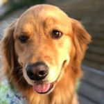 @buffy_therapy_pup's profile picture on influence.co