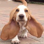 @bassethound.insta's profile picture on influence.co