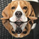 @tosha_the_beagle's profile picture on influence.co