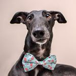@obama_the_greyhound's profile picture on influence.co