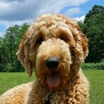 @baxter.goldendoodle.malone's profile picture on influence.co