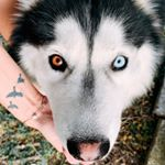 @shady.the.husky's profile picture on influence.co