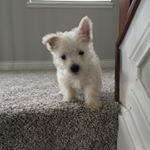 @hola_lola_thewestie's Profile Picture