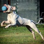 @dogoargentino_delabrancada's profile picture on influence.co