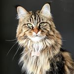 @annathemainecoon's profile picture on influence.co