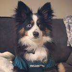 @theo_the_mini_aussie's profile picture on influence.co