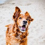 @irishsetter_kaya's profile picture