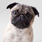 @marty_mcfly_the_pug's profile picture on influence.co