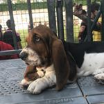 @athena_the_bassethound's profile picture on influence.co