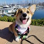 @shortstack_the_corgi's profile picture on influence.co
