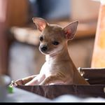@leothechihuahua2016's profile picture on influence.co