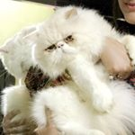 @ipurr.royal_persian.cats's profile picture on influence.co