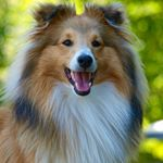 @thebobster_sheltie's profile picture on influence.co