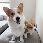 @harold_thecorgi's profile picture on influence.co