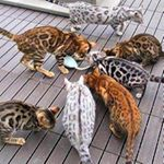 @bengalcatsworld's profile picture on influence.co