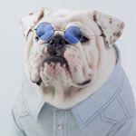 @wontonthebulldog's profile picture on influence.co