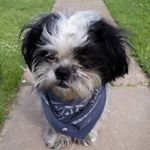 @shih_tzu_tilly's profile picture on influence.co