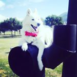 @aria_samoyed's profile picture on influence.co