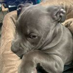@americanbully_bear's profile picture on influence.co