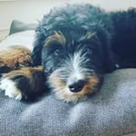 @cali_star_thebernedoodle's profile picture on influence.co