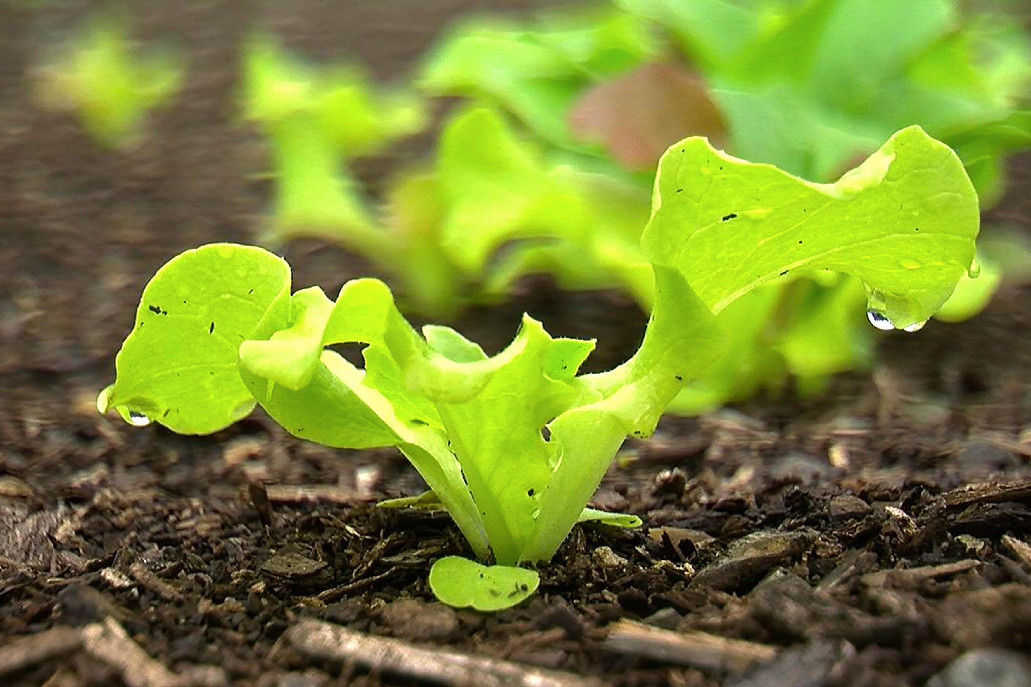Back to eden lettuce