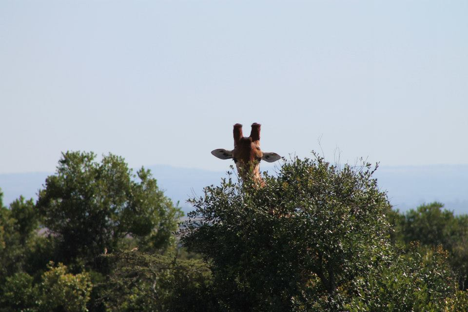 Giraffehide2