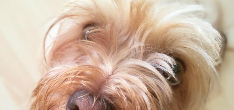 @blogdeuma's cover photo for 'Cómo limpiar los ojos del perro - El blog de Uma'