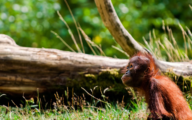 @greentumble's cover photo for 'Palm Oil & Deforestation: Threat to Orangutans | Greentumble'
