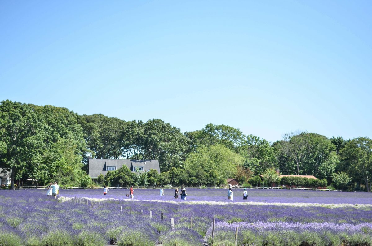 @behindthescenesnyc's cover photo for 'Lavender by the Bay in Long Island is a unique spot to visit - Behind the Scenes NYC (BTSNYC)'
