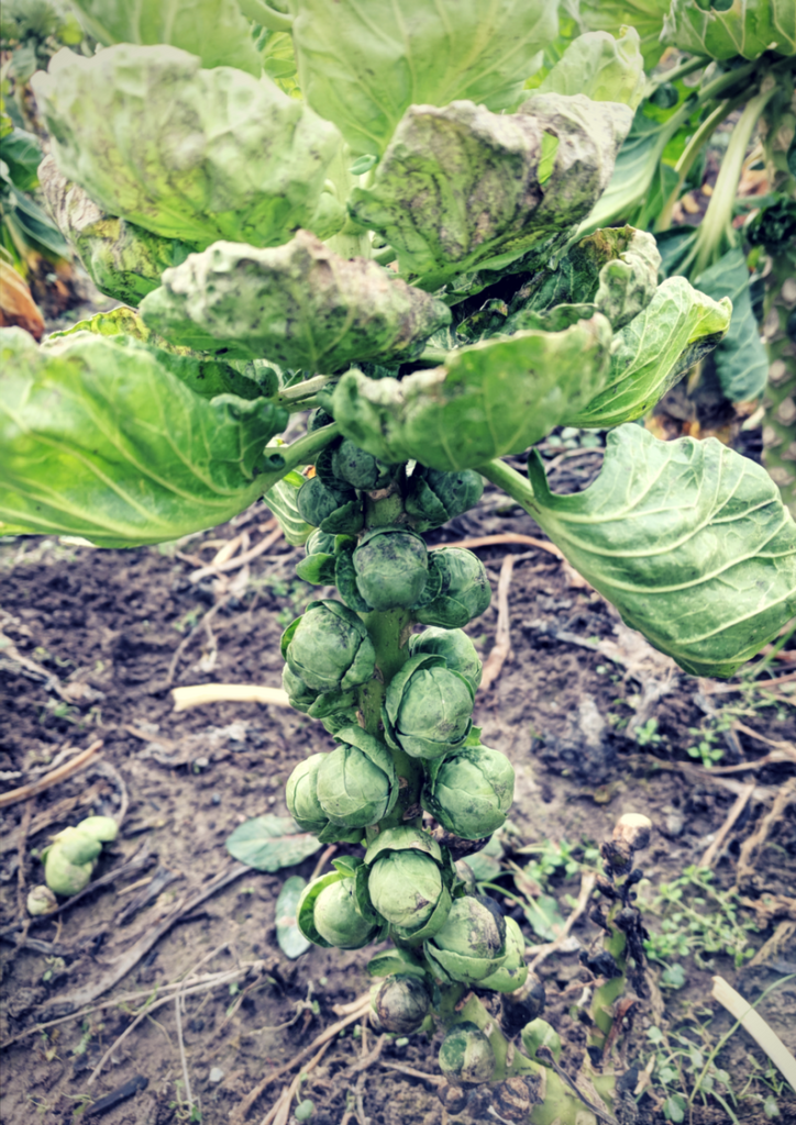 @pacificcoastharvest's cover photo for 'Why we love Brussels sprouts, and so should you'
