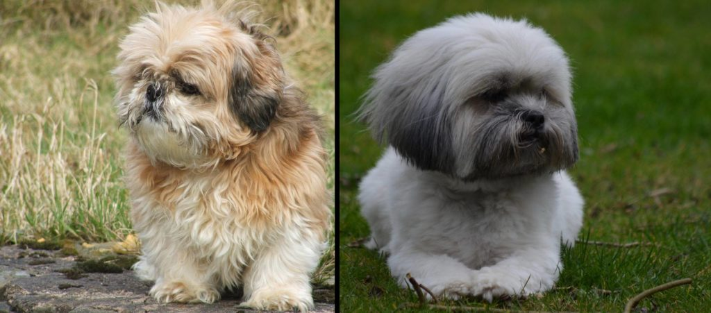 @poppy.thelhasa's cover photo for 'Differences between a Lhasa Apso and Shih Tzu - LhasaLife'