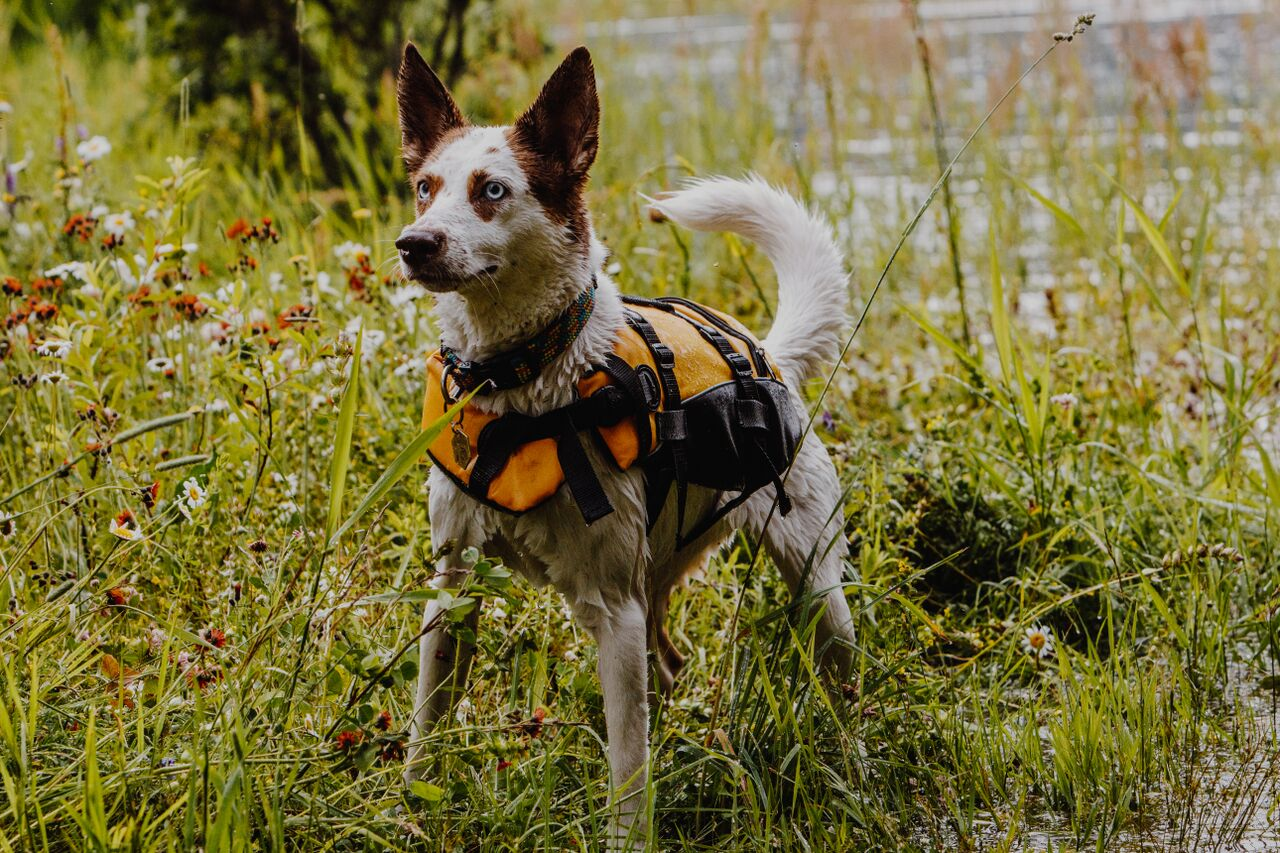 @reggieandthevan's cover photo for 'EzyDog Dog Life Jacket'