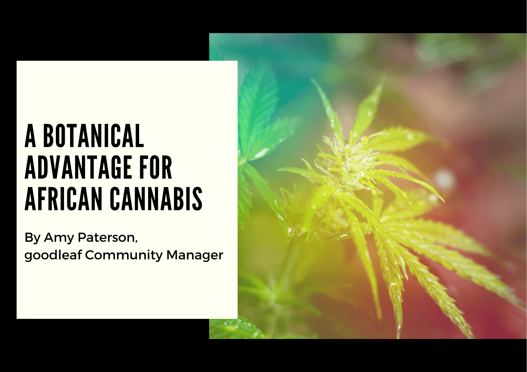 @saul.kaye's cover photo for 'goodleaf Presents: A Botanical Advantage for African Cannabis | Canna Tech Global'
