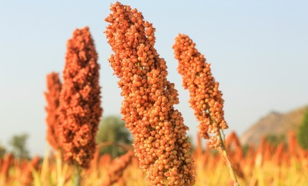 @joshua_auerbach's cover photo for '7 Benefits of Eating Sorghum  - American Sorghum'
